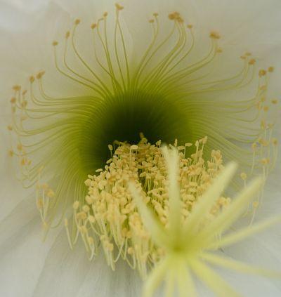 Coeur d'echinopsis