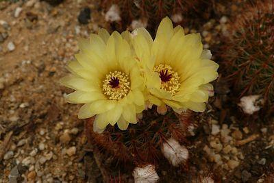 Parodia (notocactus) schlosserii