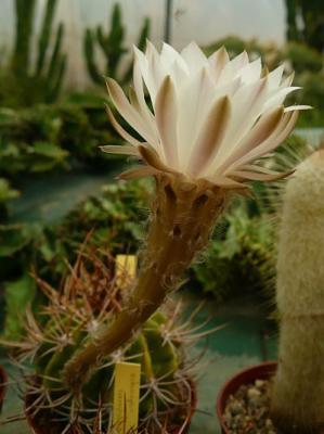 echinopsis campylacantha
