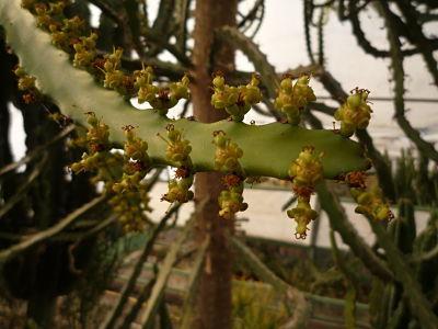 euphorbia zoutpanbergensis