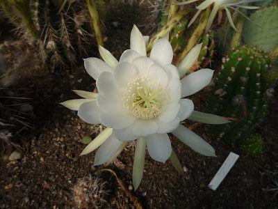 echinopsis seminudus