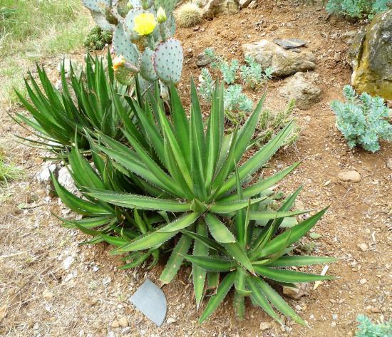 agave lophantha