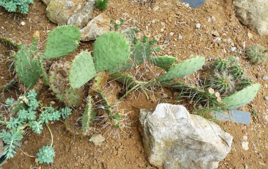 opuntia phaeacantha