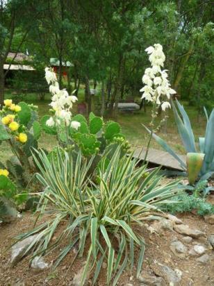 yucca Sp