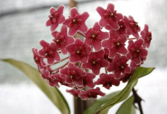 "hoya carnosa ""Red Flower"""